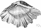 Tridacnidae - large marine hard-shell clams