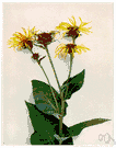 Inula helenium - tall coarse Eurasian herb having daisylike yellow flowers with narrow petals whose rhizomatous roots are used medicinally