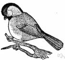 chickadee - any of various small grey-and-black songbirds of North America