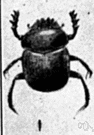 dung beetle - any of numerous beetles that roll balls of dung on which they feed and in which they lay eggs