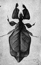 Phyllium - type genus of the Phyllidae
