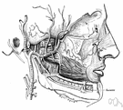 maxillary artery - either of two arteries branching from the external carotid artery and supplying structure of the face