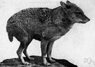 Canis aureus - Old World nocturnal canine mammal closely related to the dog