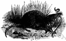 genus Sorex - type genus of the family Soricidae: shrews