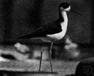 black-necked stilt - stilt of southwestern United States to northern South America having black plumage extending from the head down the back of the neck