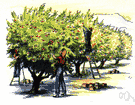 apple orchard - a grove of apple trees