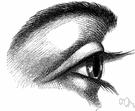 eyelid - either of two folds of skin that can be moved to cover or open the eye