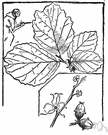 American hazel - nut-bearing shrub of eastern North America