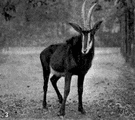 sable antelope - large black East African antelope with sharp backward-curving horns