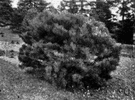 Japanese red pine - pine native to Japan and Korea having a wide-spreading irregular crown when mature