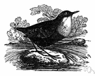 European water ouzel - a water ouzel of Europe