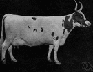 Ayrshire - hardy breed of dairy cattle from Ayr, Scotland