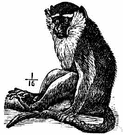 vervet - South African monkey with black face and hands