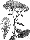 orpine - perennial northern temperate plant with toothed leaves and heads of small purplish-white flowers