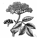 black elder - a common shrub with black fruit or a small tree of Europe and Asia