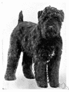 Kerry blue terrier - an Irish breed of medium-sized terriers with a silky blue-grey coat