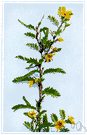 Chamaecrista - genus of tropical herbs or subshrubs having sensitive leaves and suddenly dehiscing pods