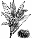 Spanish chestnut - wild or cultivated throughout southern Europe, northwestern Africa and southwestern Asia