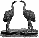 anomalopteryx - the smallest moa