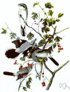 northern shrike - a butcherbird of northern North America