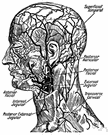 vena jugularis - veins in the neck that return blood from the head