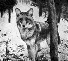 Canis latrans - small wolf native to western North America