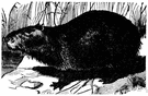 Hydrochoerus hydrochaeris - pig-sized tailless South American amphibious rodent with partly webbed feet