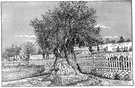 olive tree - a tree of the genus Olea cultivated for its fruit