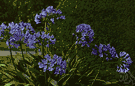 African lily - African plant with bright green evergreen leaves and umbels of many usually deep violet-blue flowers