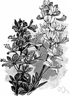 Dictamnus - a dicotyledonous genus of the family Rutaceae