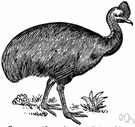Casuarius - type and sole genus of the Casuaridae: cassowaries