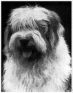 bobtail - large sheepdog with a profuse shaggy bluish-grey-and-white coat and short tail