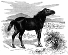 Equus caballus gomelini - European wild horse extinct since the early 20th century