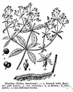 madder family - widely distributed family of mostly tropical trees and shrubs and herbs