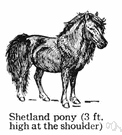 Shetland pony - breed of very small pony with long shaggy mane and tail
