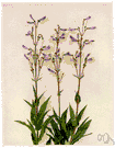 penstemon - large genus of subshrubs or herbs having showy blue or purple or red or yellow or white flowers