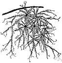 usnea - widely distributed lichens usually having a greyish or yellow pendulous freely branched thallus