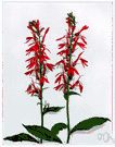 cardinal flower - North American lobelia having brilliant red flowers