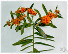tuber root - erect perennial of eastern and southern United States having showy orange flowers