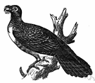 genus Steatornis - type and sole genus of the family Steatornithidae