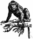 macaque - short-tailed monkey of rocky regions of Asia and Africa