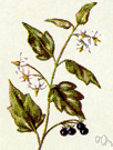 black nightshade - Eurasian herb naturalized in America having white flowers and poisonous hairy foliage and bearing black berries that are sometimes poisonous but sometimes edible