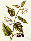 common nightshade - Eurasian herb naturalized in America having white flowers and poisonous hairy foliage and bearing black berries that are sometimes poisonous but sometimes edible