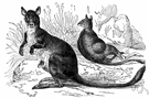 wallaby - any of various small or medium-sized kangaroos