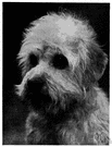 Dandie Dinmont terrier - a breed of small terrier with long wiry coat and drooping ears