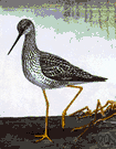 Tringa melanoleuca - a variety of yellowlegs
