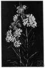 whorled milkweed - milkweed of the eastern United States with narrow leaves in whorls and greenish-white flowers
