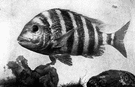 Archosargus probatocephalus - large (up to 20 lbs) food fish of the eastern coast of the United States and Mexico