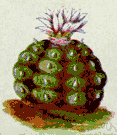 mescal - a small spineless globe-shaped cactus