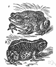 Bufo calamita - common brownish-yellow short-legged toad of western Europe